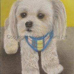"""Chihuahua Maltese cross """"Moe"""""""
