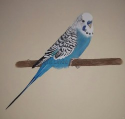 """Louis the Budgie"""